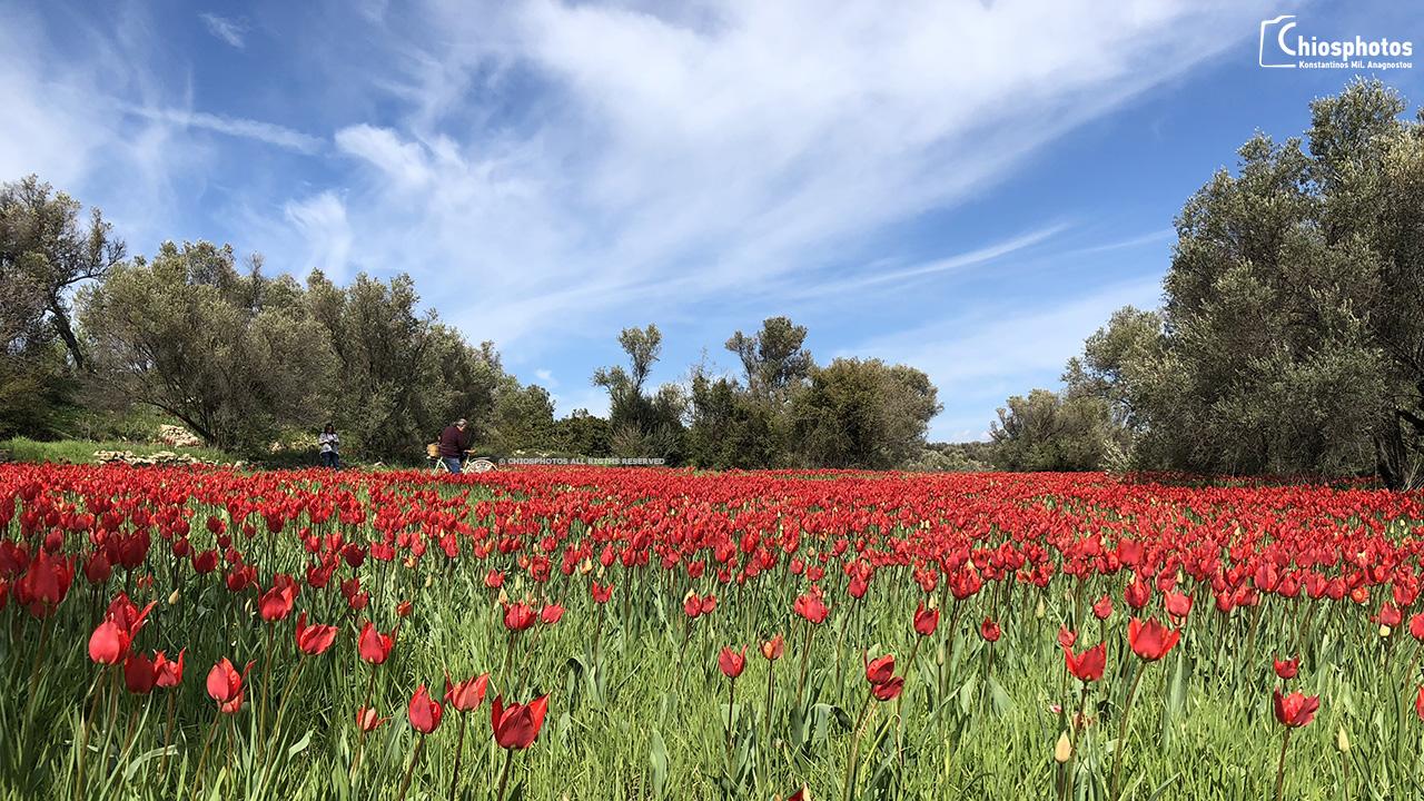 Οι μοναδικές Άγριες Τουλίπες που φυτρώνουν μόνο στη Χίο VIDEO
